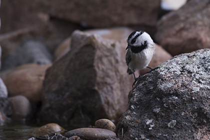 NM chickadee