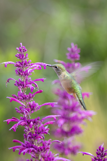 hummingbird (wildlife)
